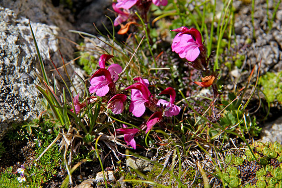 Pedicularis kerneri   found around the Konkordia Hut
