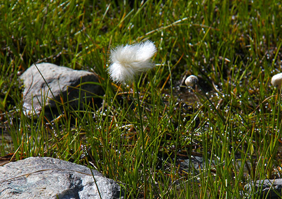 Eriophorum   (Cottongrass, Cotton grass or Cottonsedge)
