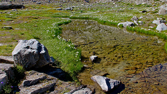 Eriophorum bordering a small pond close to   M�rjelesee