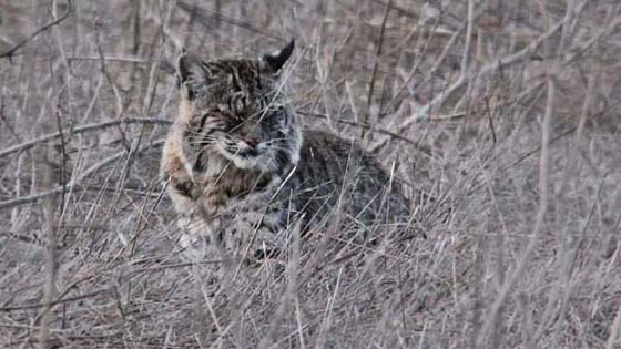 Bobcat   Tennesse Valley, California