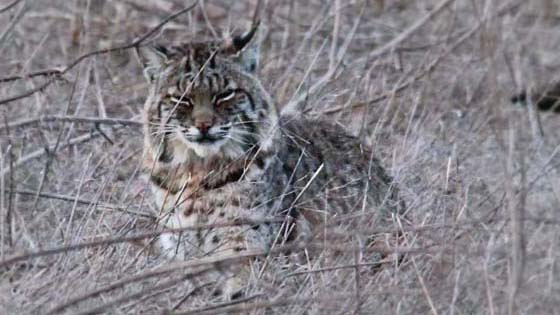 Bobcat in Tennessee Valley, California