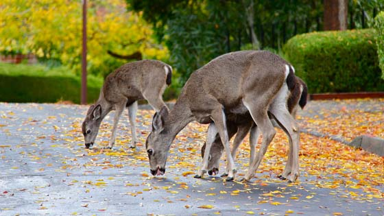 Deer eating fallen automn leaves on the pavement