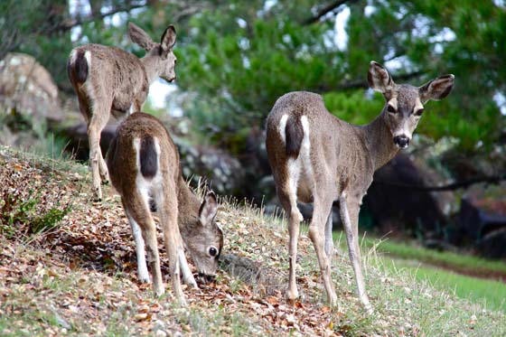 Deer mating season in San Rafael, California