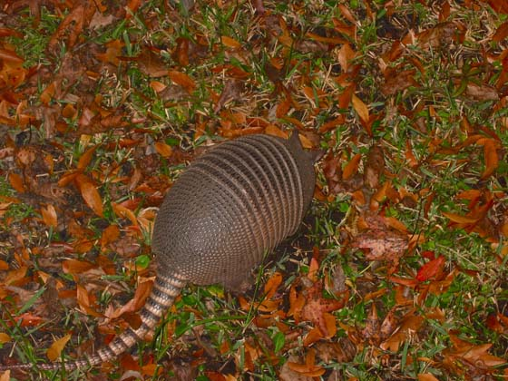 Armadillo at night in Homosassa Springs