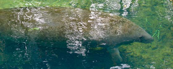 Endangered West Inidian Manatee in Crystal River