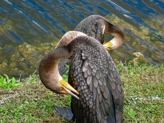 The emerald green eyes of the double crested cormorans in the Everglades were absolutely stunning