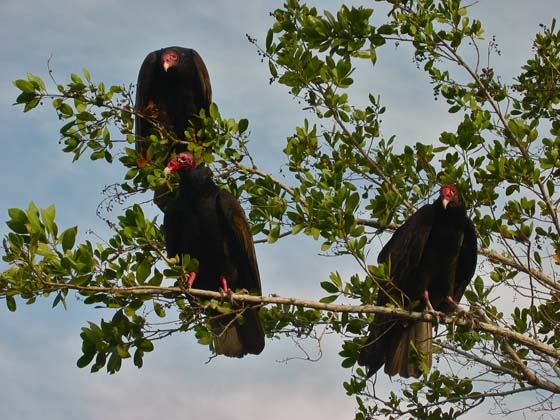 Turkey vultures waiting for their prey