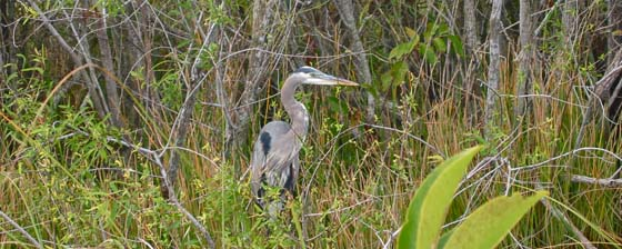 A blue heron hunting
