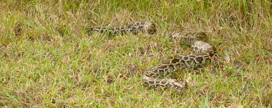 Reticulated python or Burmese python in Everglades National Park