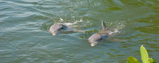 Dolphins at the Dolphin Research Center in Marathon