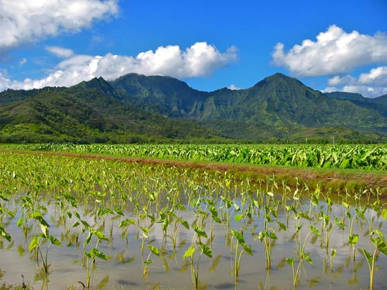 Taro field   Along Highway 560 near Princeville