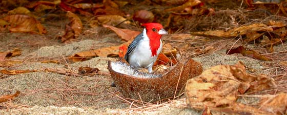Brazilian Cardinal eating coconut at Tunnels Beach   Kauai is a paradise for bird lovers