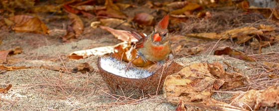 Female Northern Cardinal at Tunnels Beach