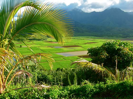 Hanalei Valley taro fields   near Princeville