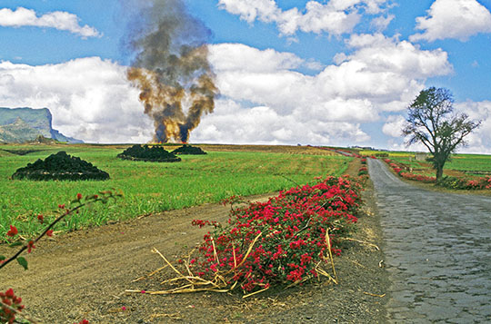 The usual sugar cane field controlled fire in the distance   bougainvillea trees bordering the road   the rough pavement   the stacks of basalt boulders in the sugar cane fields   and the unforgettable smell of the burnt sugar cane
