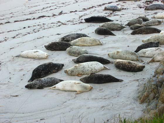 Harbor seals   Following the Monterey Peninsula Recreational Trail leads to Pacific Grove   and the entrance of the 17 Mile Drive