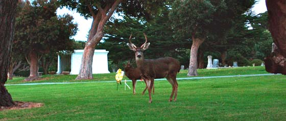 Deer in El Carmelo Cemetery   accross the street from the Sunset Inn motel in Pacific Grove